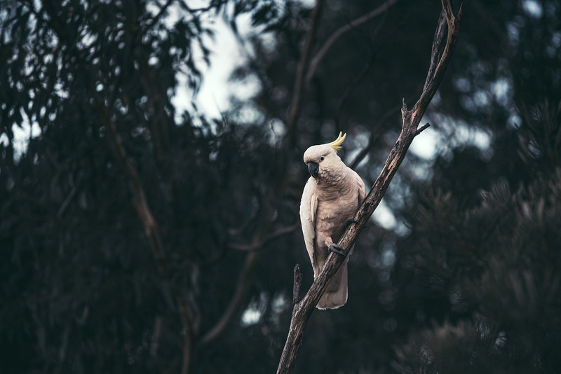 Cockatoos in the Blue Mountains National Park