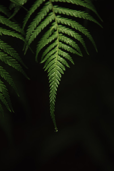 Condensing water dripping of fern