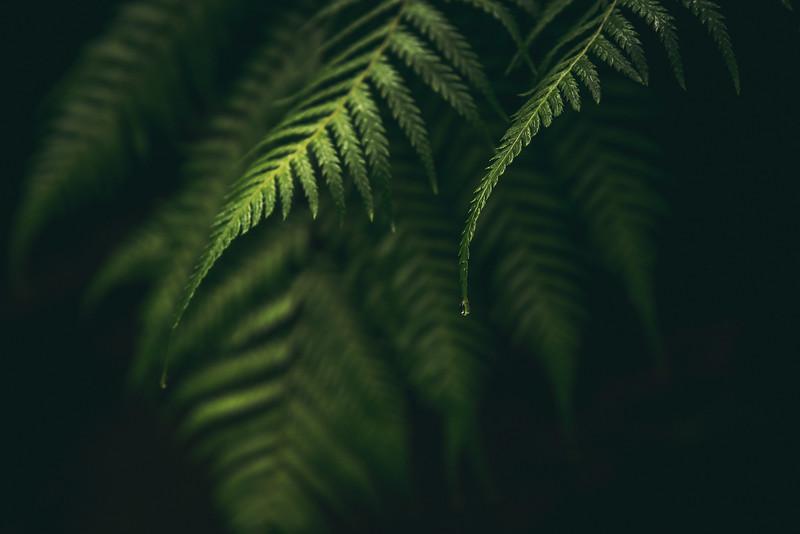Condensing water on fern leaves