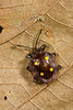 Fungus beetle, Danum Valley, Sabah, Borneo