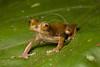 Sharp-nosed Treefrog, Rhacophorus angulirostris, Kinabalu National Park, Borneo