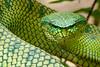 Wagler's Pit Viper, Tropidolaemus wagleri, Bako National Park, Sarawak, Borneo