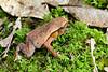 Kinabalu sticky frog, Kalophrynus baluensis, Sabah, Malaysian Borneo