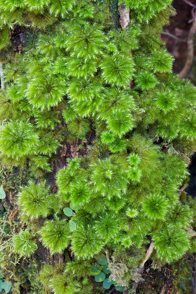 Rain forest moss, Kinabalu National Park, Sabah, Malaysian Borneo