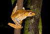 File-eared Treefrog, Polypedates otilophus, Danum Valley, Borneo