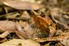 Horned Frog, Megophrys nasuta, Danum Valley, Sabah, Borneo