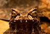 Montane horned frog, Megophrys kobayashii, Kinabalu National Park, Sabah, Borneo