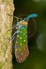 Lantern bug, Sukau, Sabah, Borneo