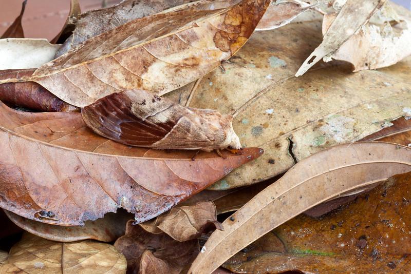 Leaf-mimicking moth, Kinabalu National Park, Sabah, Malaysian Borneo