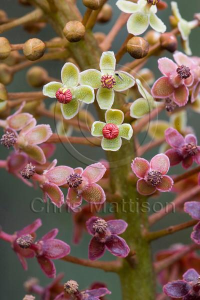 Flowers, Rajah pitcher plant, Nepenthese raja, Mount Kinabalu, Sabah, Borneo