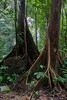 Buttress trees in lowland rainforest, Mulu National Park, Sarawak, Malaysian Borneo