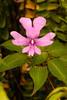 Kinabalu balsam, Sabah, Borneo