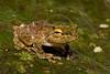 Frilled Tree Frog, Rhacophorus appendiculata, Sukau, Borneo