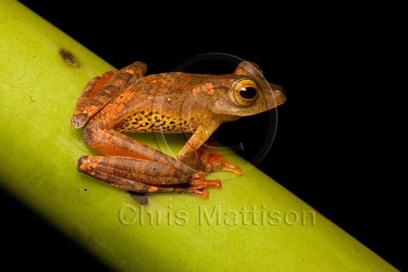 Harlequin Flying Frog, Rhacophorus pardalis, Danum Valley, Borneo