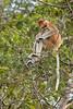 Proboscis monkey, Kinabatangan River, Borneo