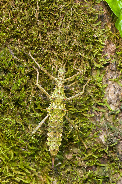Stick insect, Danum Valley, Sabah, Borneo