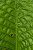 Yam leaf, Danum Valley, Sabah, Borneo