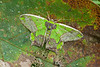 Leaf-mimic moth, Kinabalu National Park, Sabah, Malaysian Borneo