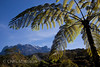 Tree fern, Cyathia contaminans, with Mount Kinabalu in the background