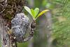 Antplant, Myrmicodia, Bako National Park Sarawak