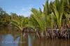 Nipa palm and mangroves along estuary, Sabah, Borneo
