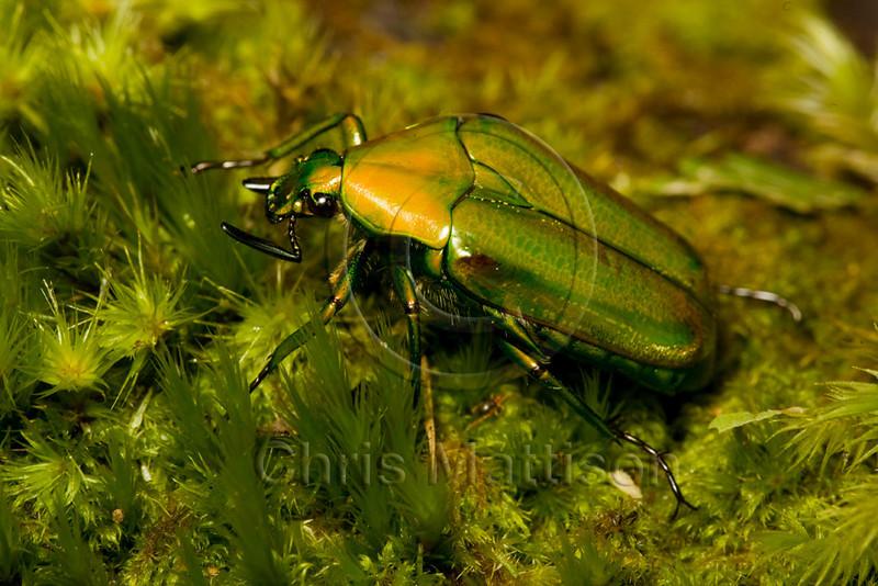 Flower beetle, Mount Kinabalu
