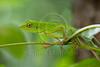 Green Garden Lizard, Calotes calotes, Sukau, Borneo, Sabah, Malaysia