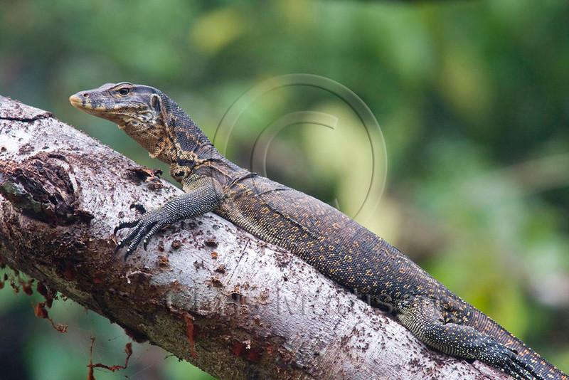 Water monitor lizard, Kinabatangan River, Borneo