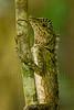 Short crested lizard, Danum Valley, Borneo