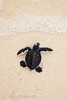 Hatchling green turtle, Chelonia mydas, making its way to the sea, Selingan Island, Sabah, Borneo