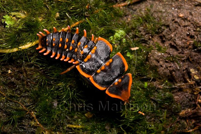 Trilobite beetle, Mount Kinabalu