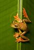 Harlequin Flying Frog, Rhacophorus pardalis, Danum Valley, Borneo,