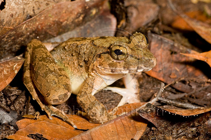 Giant River Frog, Limnocharis leporinus, Danum Valley, Borneo