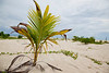 Seedling coconut palm, Cocos nucifera, Selingan Island, Sabah, Borneo