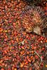 Freshly harvested palm oil nuts, Elaeis guineensis, Sabah, Borneo