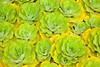 Water lettuce,  Pistia stratiotes