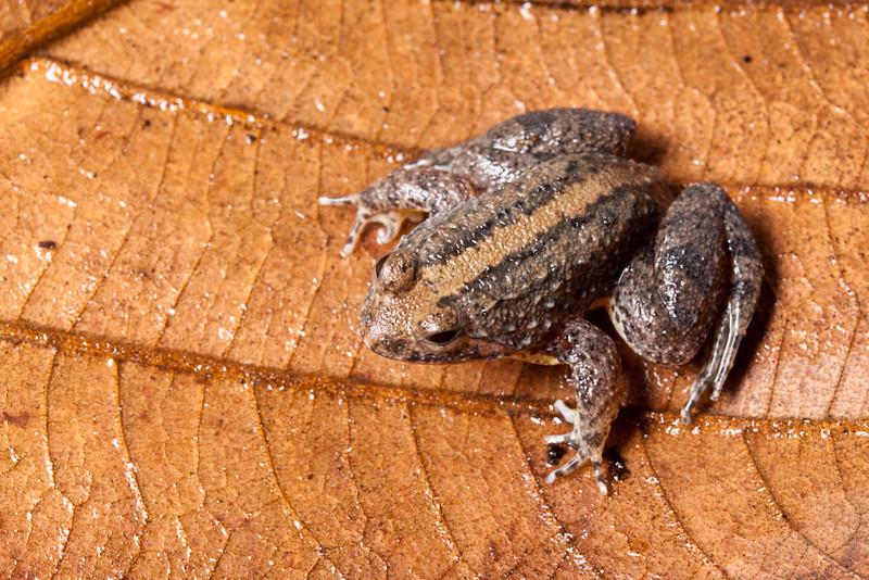 Puddle frog, Occidozyga laevis, Sukau, Malaysian Borneo