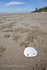 Sand dollar, or sea biscuit, and ghost crab burrows on the beach at Tuaran, Sabah, Borneo