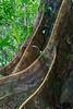 Buttress tree, Mulu National Park, Sarawak, Malaysian Borneo