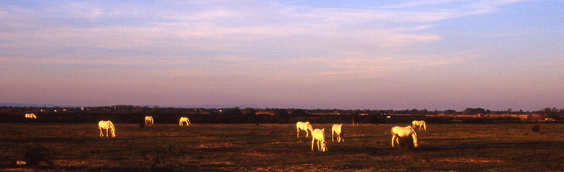 Camargue white horses seem to glow in the late afternoon sunlight