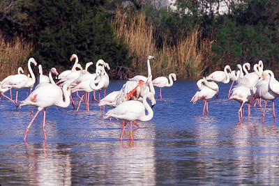 Greater Flamingo (Phoenicopterus roseus) is the most widespread species of the flamingo family