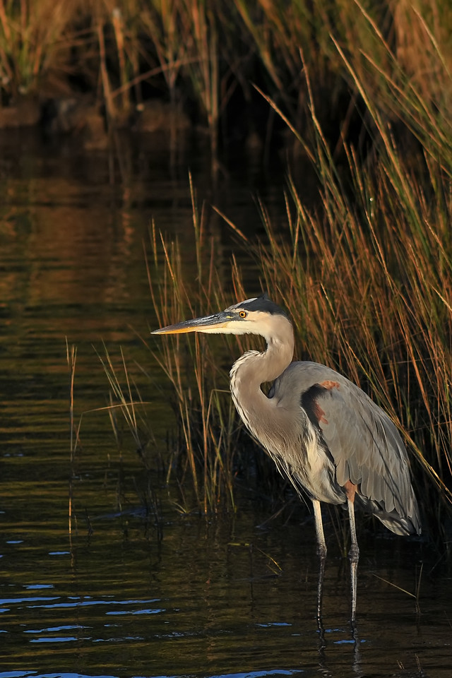 Oct 10th,  On a near by camping trip, I caught some good morning light and a Great Blue Heron just down the road from out campsite.  These guys spook pretty easy in our area, but a lot of fun to capture with the camera!