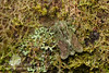 Unidentified moth, camouflaged amongst lichens and mosses. Cartago Province, Costa Rica