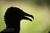 Black Vulture, Coragyps atratus, silhouette, Costa Rica