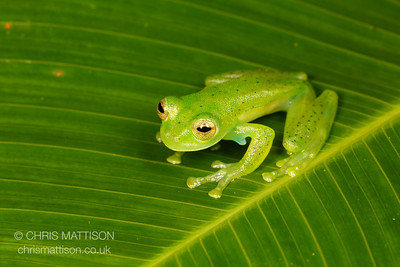 Emerald Glass Frog, Centrolenella prosoblepon, Bosque de Paz, Central Highlands, Costa Rica.  Note the humeral spines, present only in males, which identifies this species.