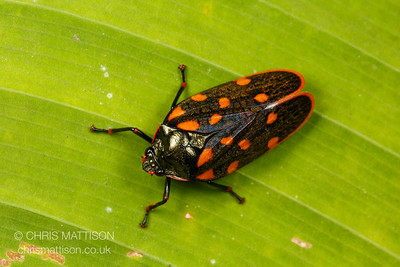 Tropical froghopper, order Hemiptera, family Cercopidae