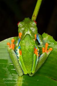 Red-eyed Leaf Frog, or Tree Frog, Agalychnis callidryas, amplectant pair.  El Arenal, Costa Rica