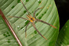 A nocturnal wandering spider, Cupiennius getazi, El Arenal region, Costa Rica.