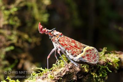 Lantern bug, Phrictus quinquepartitus, La Selva, Costa Rica