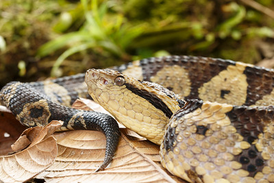 Jumping Viper, Atropoides nummifer, El Arenal region, Costa Rica.  Family Viperidae, subfamily Crotalinae (pit vipers).  Dangerously venomous.